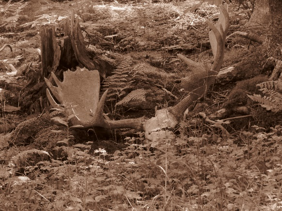 Moose horns on grounds in sepia, Gumpo Abbey, Cape Breton