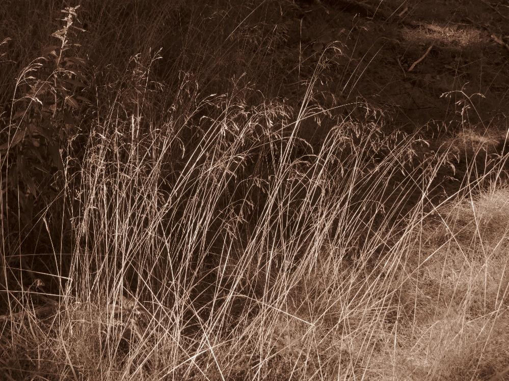 Grasses in sepia on way to shrine, Gampo Abbey, Cape Breton