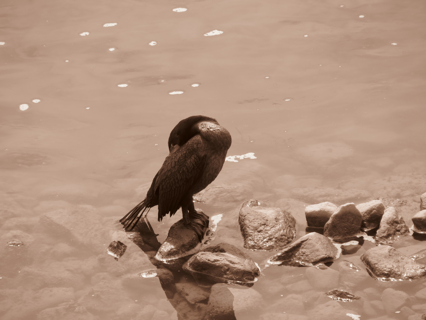 Cormorant cleaning feathers, Alma