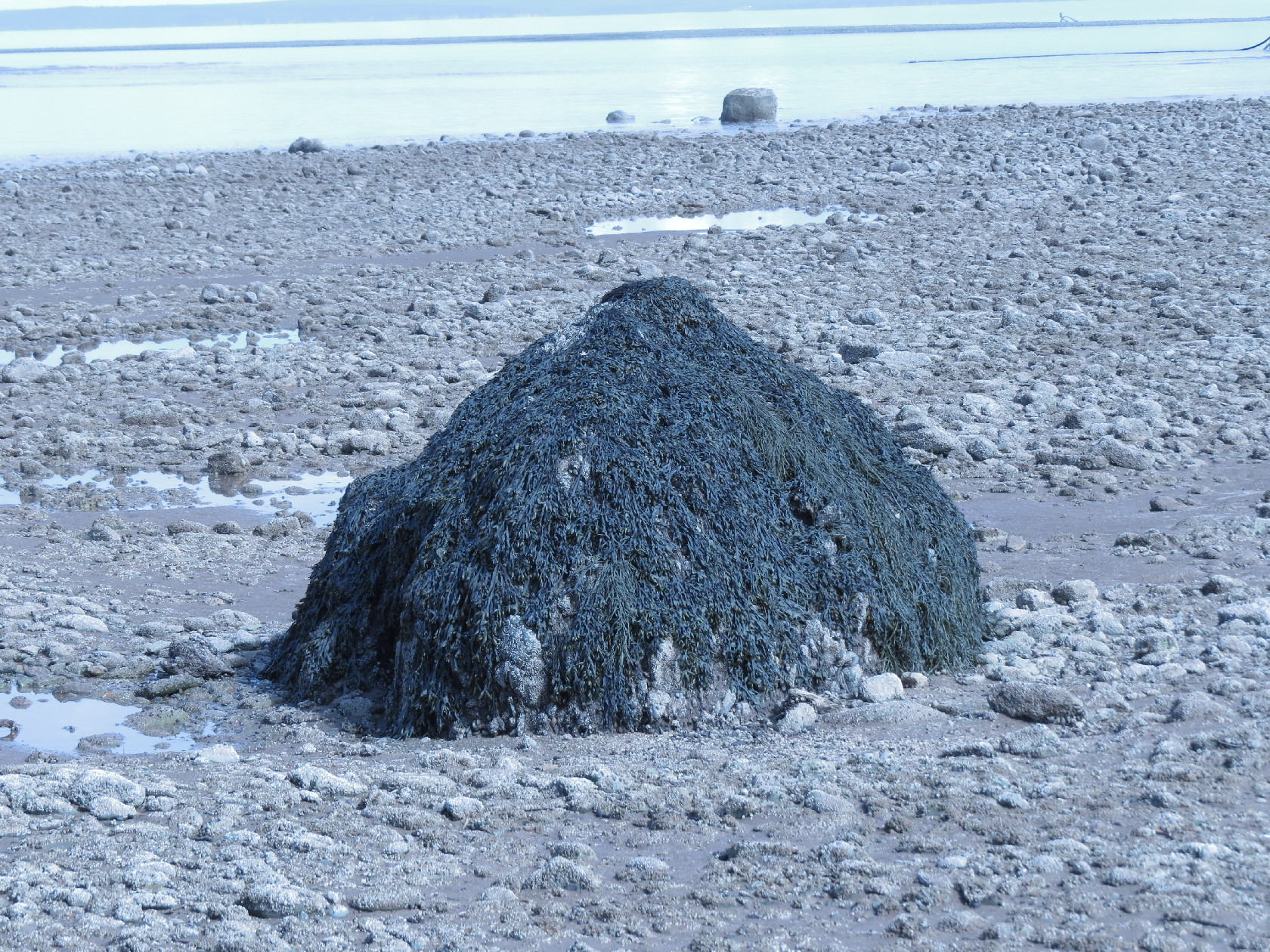 An algae-covered rock at low tide, Alma