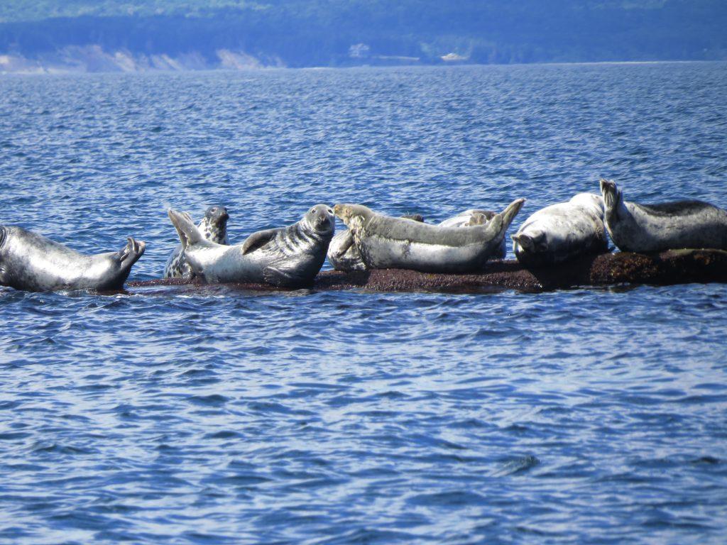 Seals sunbathing, Bird Islands, Donelda's Puffin Tours, NS