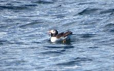 Puffin with a catch in beak. Donelda's Puffin Tours, NS