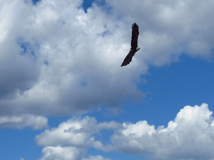 Bald eagle boasting wingspan, Donelda's Puffin Tours, NS