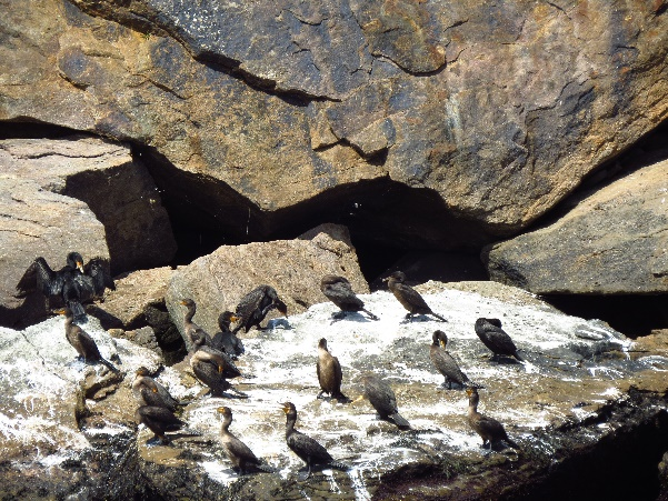 Cormorants on guano, Bird Islands, NS, Donelda's Puffin Tours