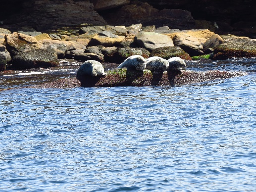 Seals perched on rock, Bird Islands, NS, Donelda's Puffin Tours