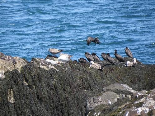 Campobello tides - cormorants resting on rock at low tide, Quoddy Head, Campobello