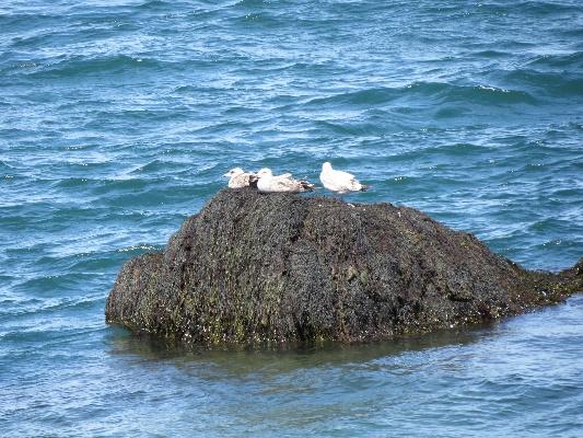 Campobello tides - seagulls resting on temporary island at low tide, Quoddy Head, Campobello