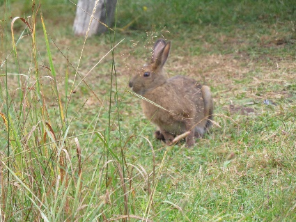 Cute rabbit at Point Wolfe Campground, Fundy, NB