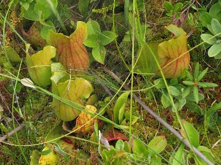 Pitcher's plants leaves traps, Campobello bog, NB