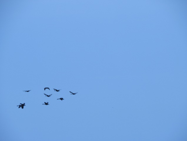 Canada geese over Flanders Bay, ME