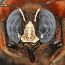 Bee's composite eyes clearly seen as well as other head features