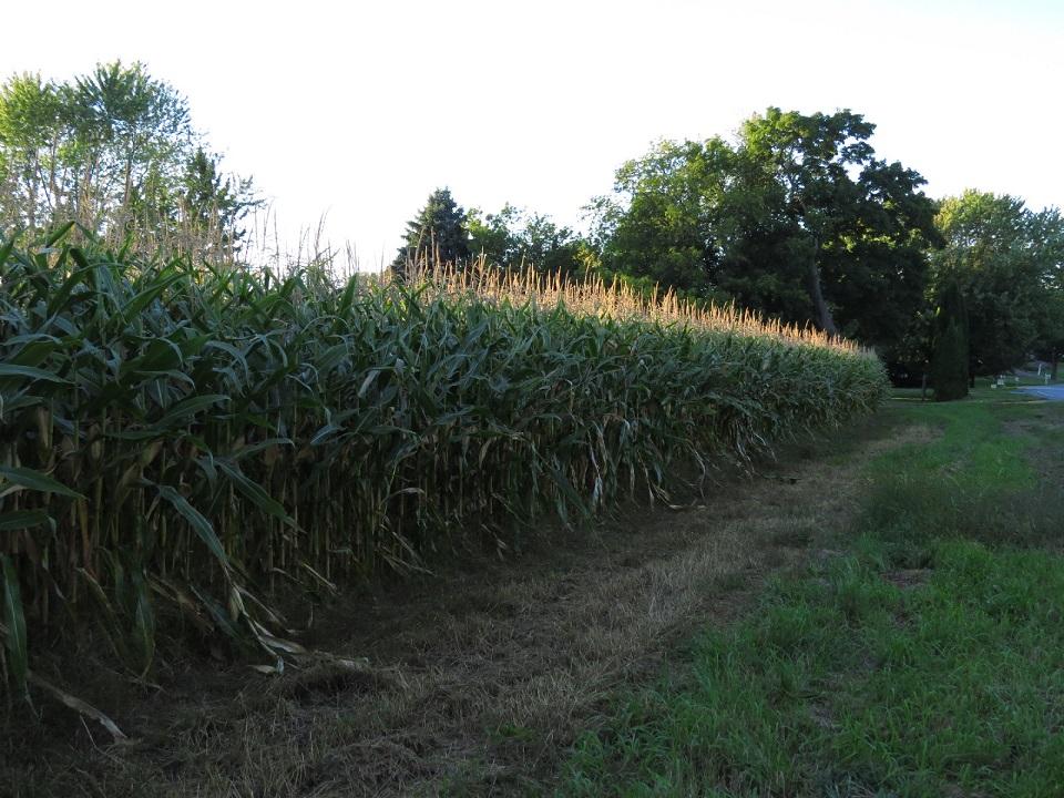 Corn field, Lake Champlain Isles