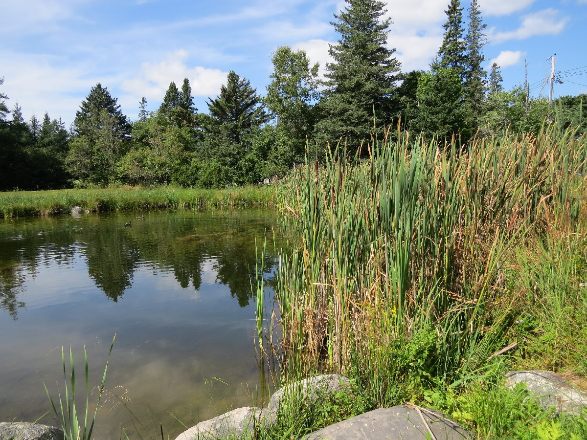 Rushes and riparian vegetation around pond, NE Harbor, Mount Desert Island