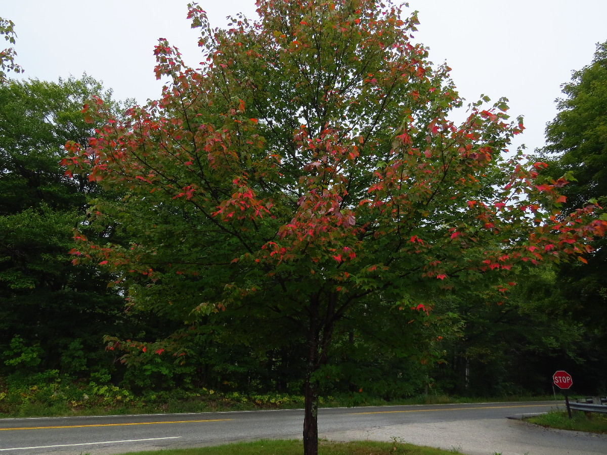 Trees start changing colors, Kancamagus, White Mountains