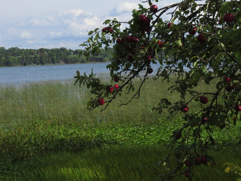 Apple tree, apple tree, hand me your apples...La Motte wetland, VT
