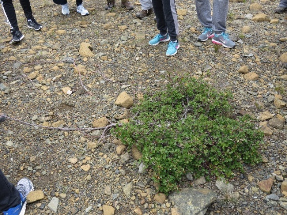 Tundra plants growing in a ball to keep warm, The Tablelands, NL