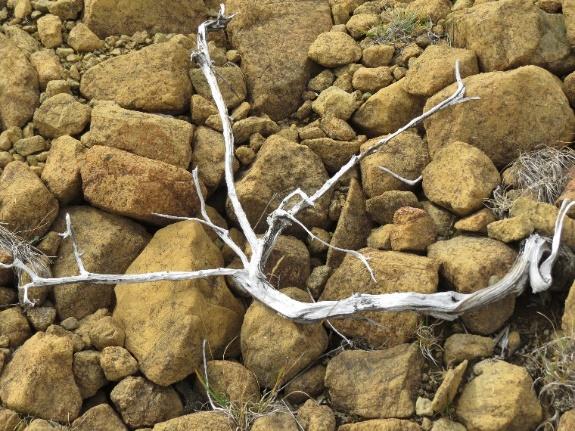 Miniature tundra tree rooting overground, Tablelands, NL