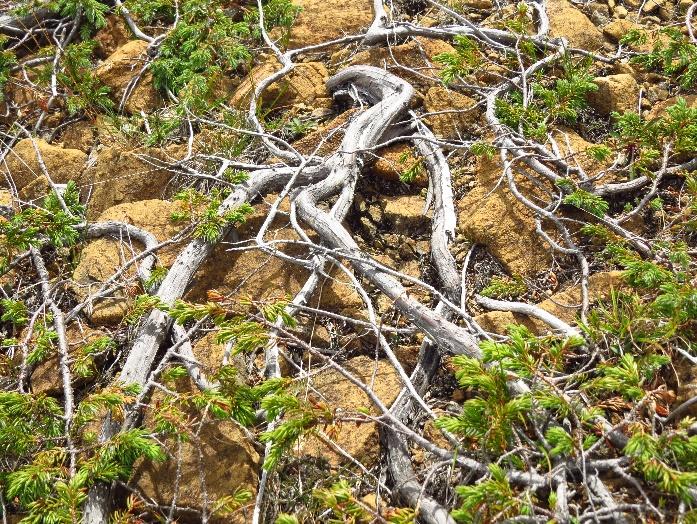 Juniper crawling on ground, The Tablelands, Gros Morne NP, NL