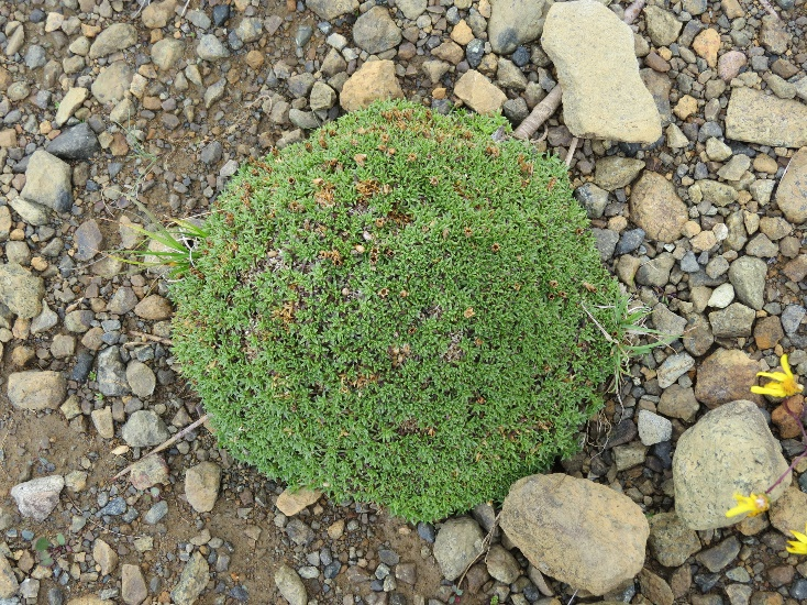 Rolled like a ball to protect from the cold, Tablelands plant
