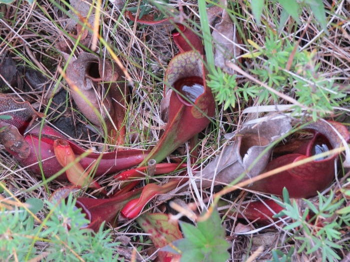 Pitcher plants insect traps with liquid, The Tablelands, NL