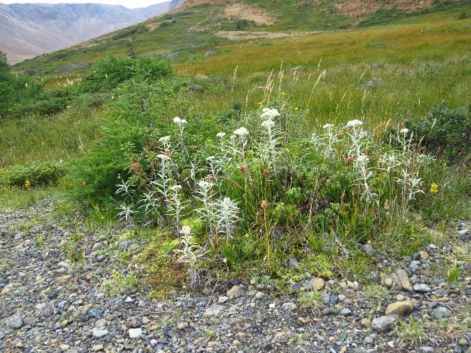 Meadow in a more fertile habitat of the Tablelands, NL