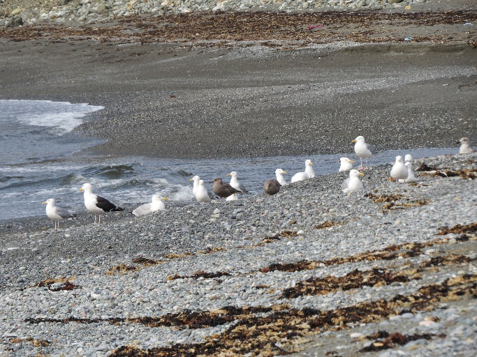 Seagulls inspecting surf, Trout River, Newfoundland