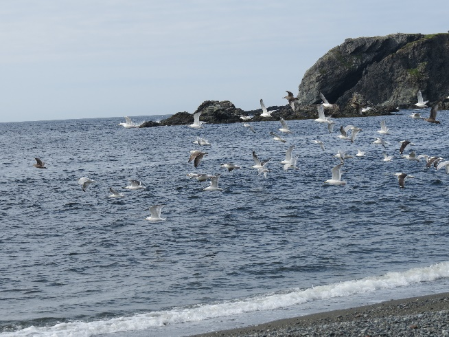 Seagulls over Trout River, Newfoundland