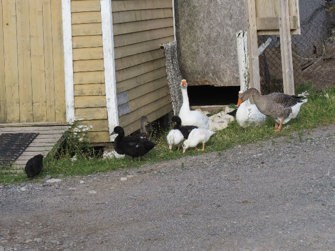 Geese and ducks, Trout River, Newfoundland