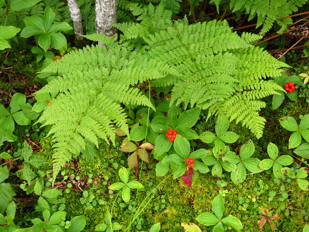 Ferns and undergrowth, Codroy Estuary Nature Reserve, NL