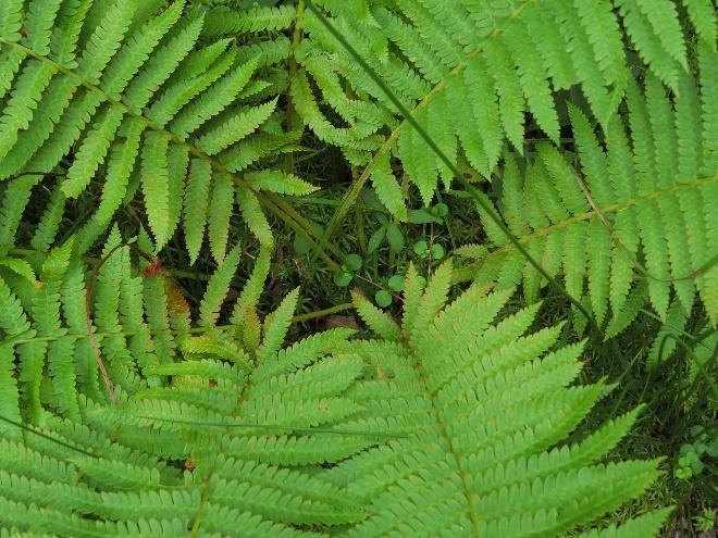 Close-up of heart of fern, Codroy Estuary Nature Reserve, NL
