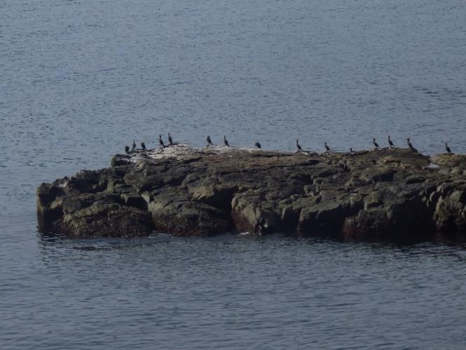 Cormorants at Middle Head Peninsula