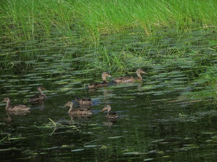 Ducks, Middle Head Peninsula, Cape Breton