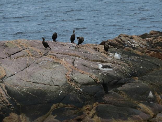 Cormorants on rocks, Neil's Harbor, Cape Breton's east coast