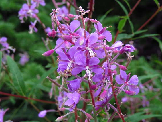 Violet wildflowers on Moose Trail, Gros Morne, NL