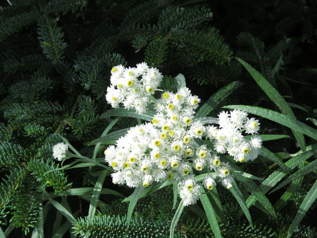 White blooms around Lobster Cove Lighthouse