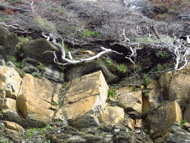 Survivor trees and stunning geology, Lobster Cove, NL