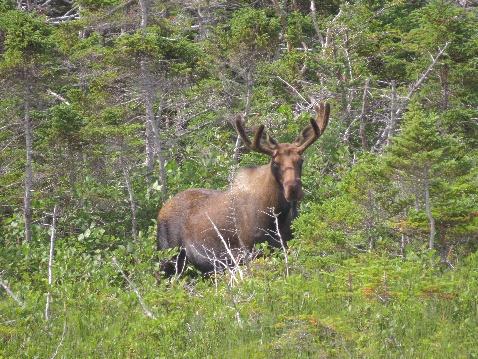 Moose in bush by roadside, Gros Morne