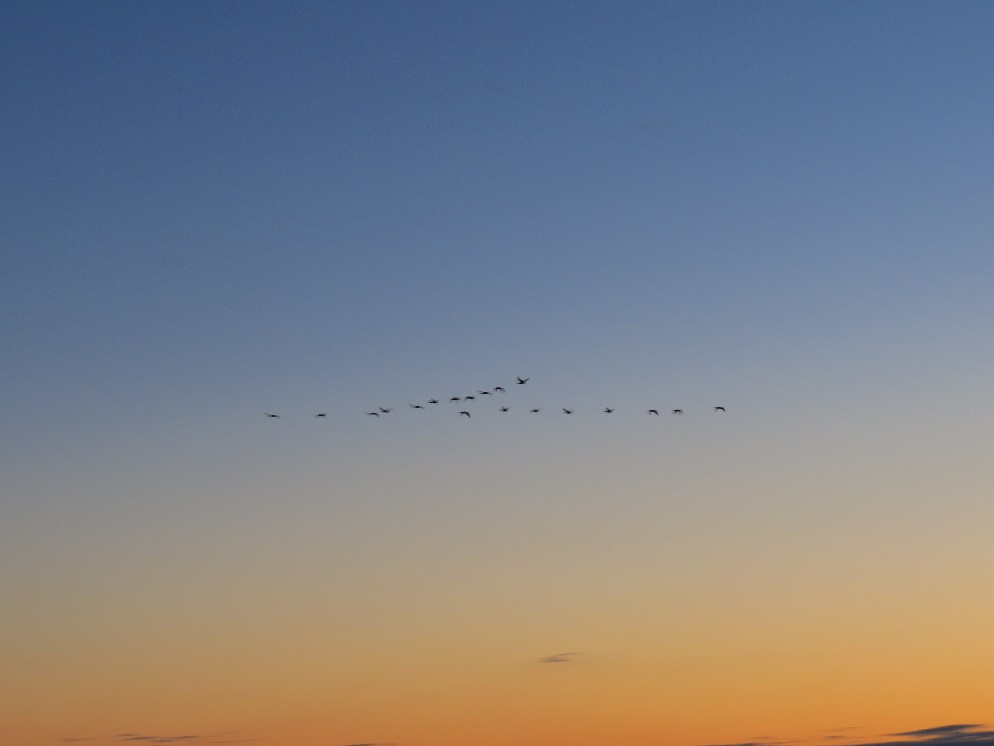 Geese in formation , twilight, Mount Desert Island