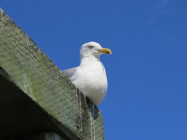 Seagull perched on beam, NE Harbor