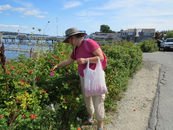 Local lady picking rose hips, NE Harbor, Mount Desert Island