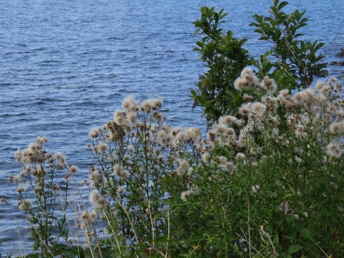 Seashore vegetation, S/eal Colve, Mount Desert Island, ME