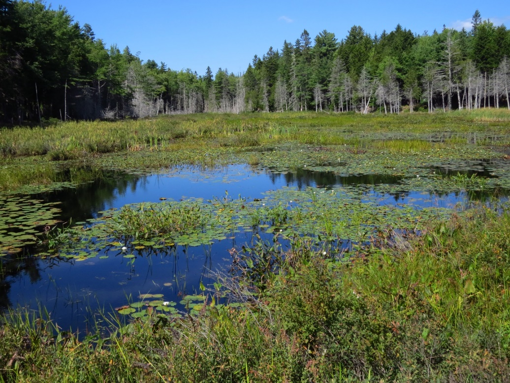 Pond with water lilies, Mount Desert Island, ME