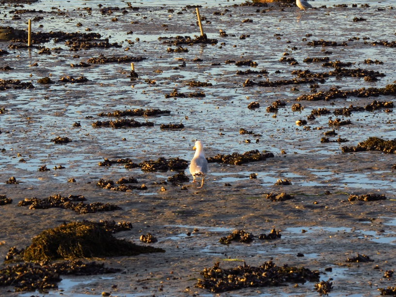 Seagull looking out to ocean as dusk settles in, Mount Desert Island