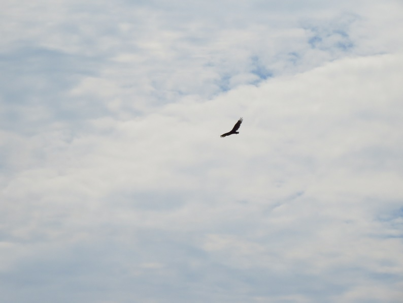 Raptor (eagle?) in White Mountains sky