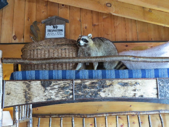 Stuffed racoon at Keene's Furniture Store, NYS