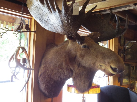 Moose head, Keene Furniture Store, NYS