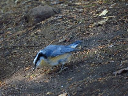 Blue robin? Henry's Woods, Adirondacks, NYS