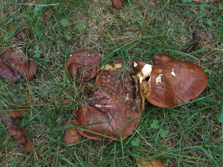 Mushrooms growing on my tent site, Thousand Islands Campground, NYS