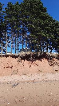 Soil eroding under trees, Northumberland Provinvial Park Beach