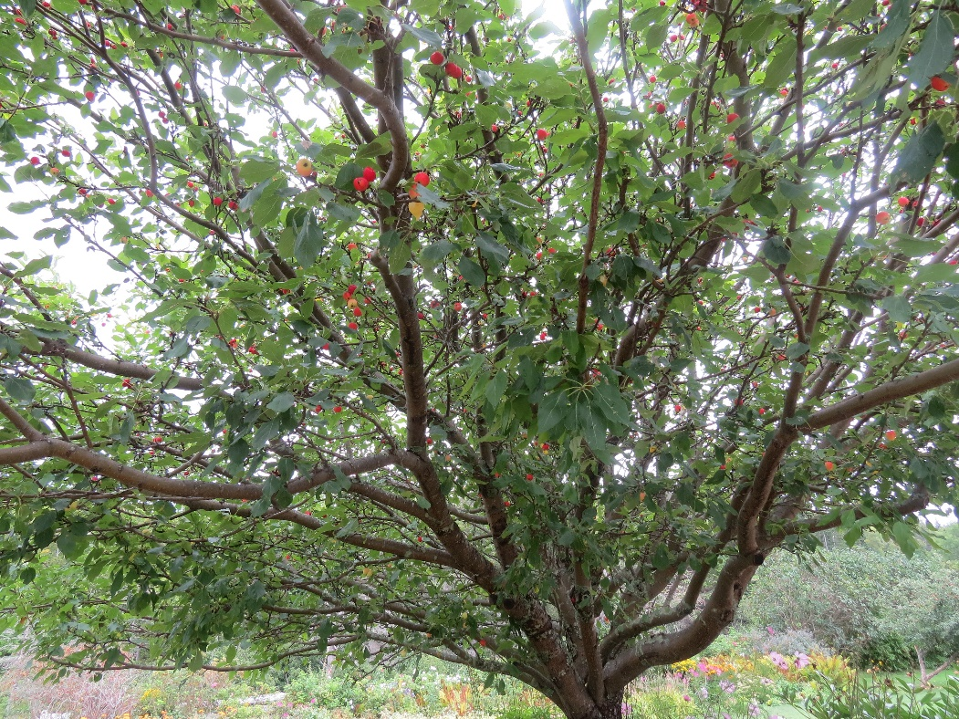 One of Anne's magical apple trees, Cavendish